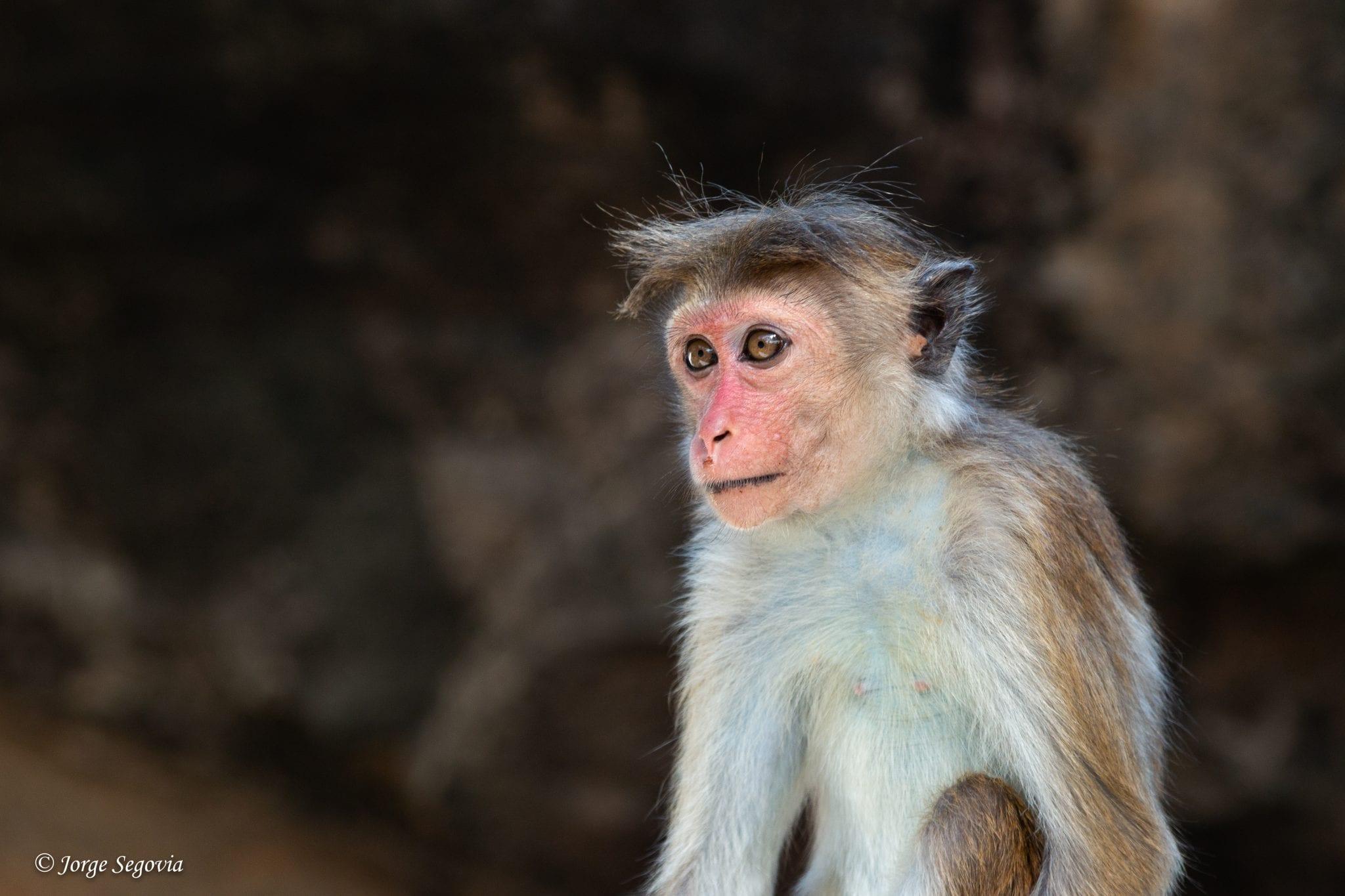 Mono de los templos